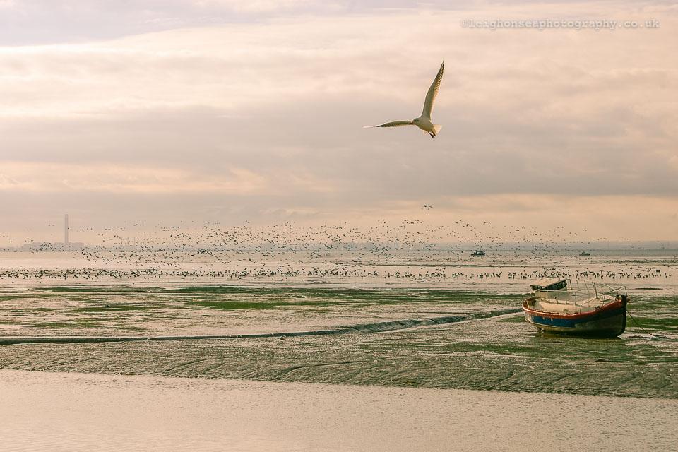 One-gull,-1,000-geese.jpg