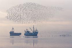 Dunlin-fish.jpg