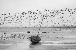 Brent-geese-mono.jpg